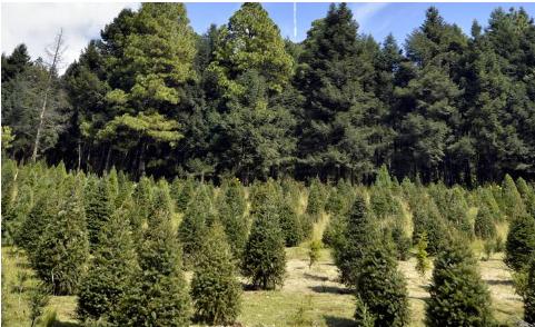 Inicia el corte de árboles navideños en Xonacatlán