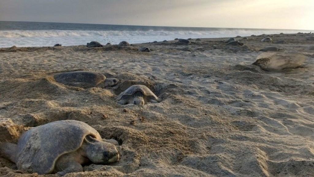 tortugas-golfinas-hallan-muertas-en-la-costa-de-oaxaca