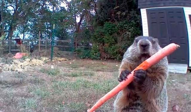 Video de tierna marmota ladrona de vegetales se viraliza en México