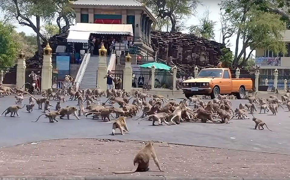 Cientos de monos pelean por la falta de turistas