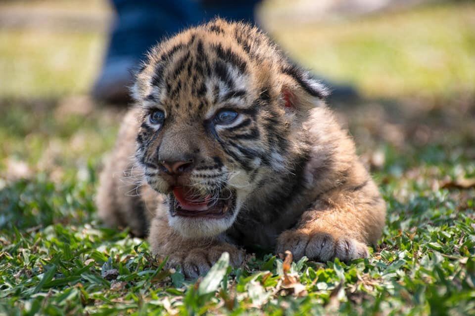 Tigre de Bengala llamado Covid