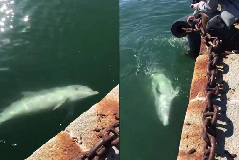 Delfines se pasean por los canales de Venecia