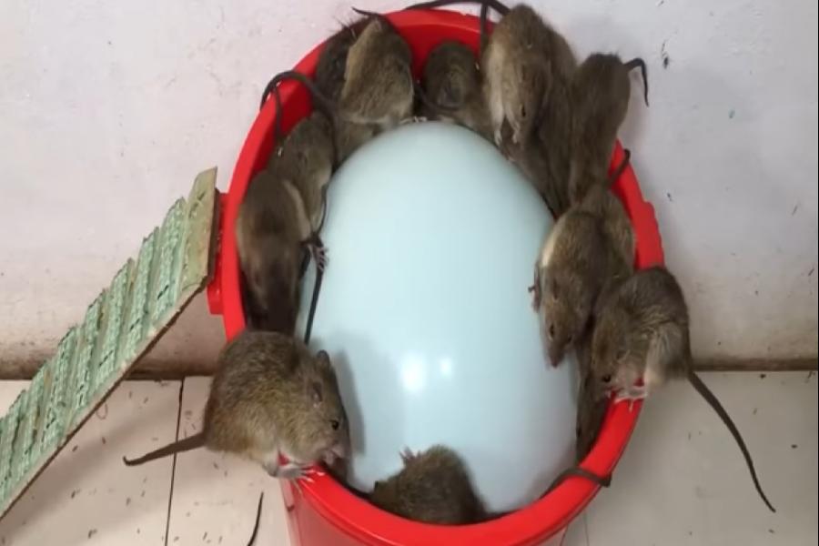 Ratas atrapadas en una trampa casera.