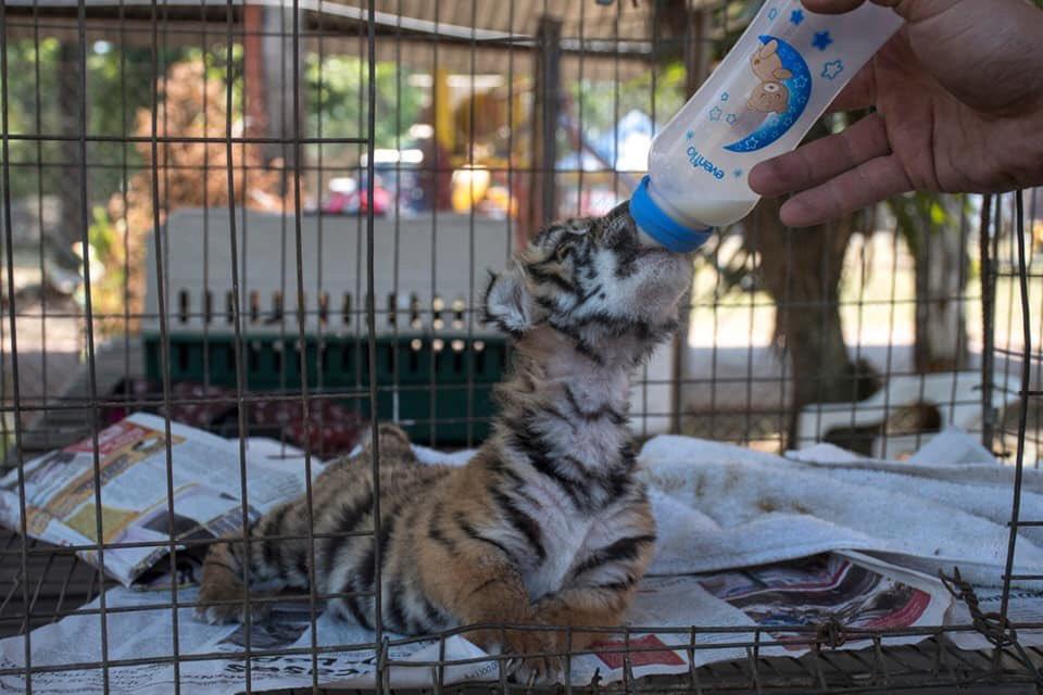 Covid el pequeño tigre que nació en Veracruz