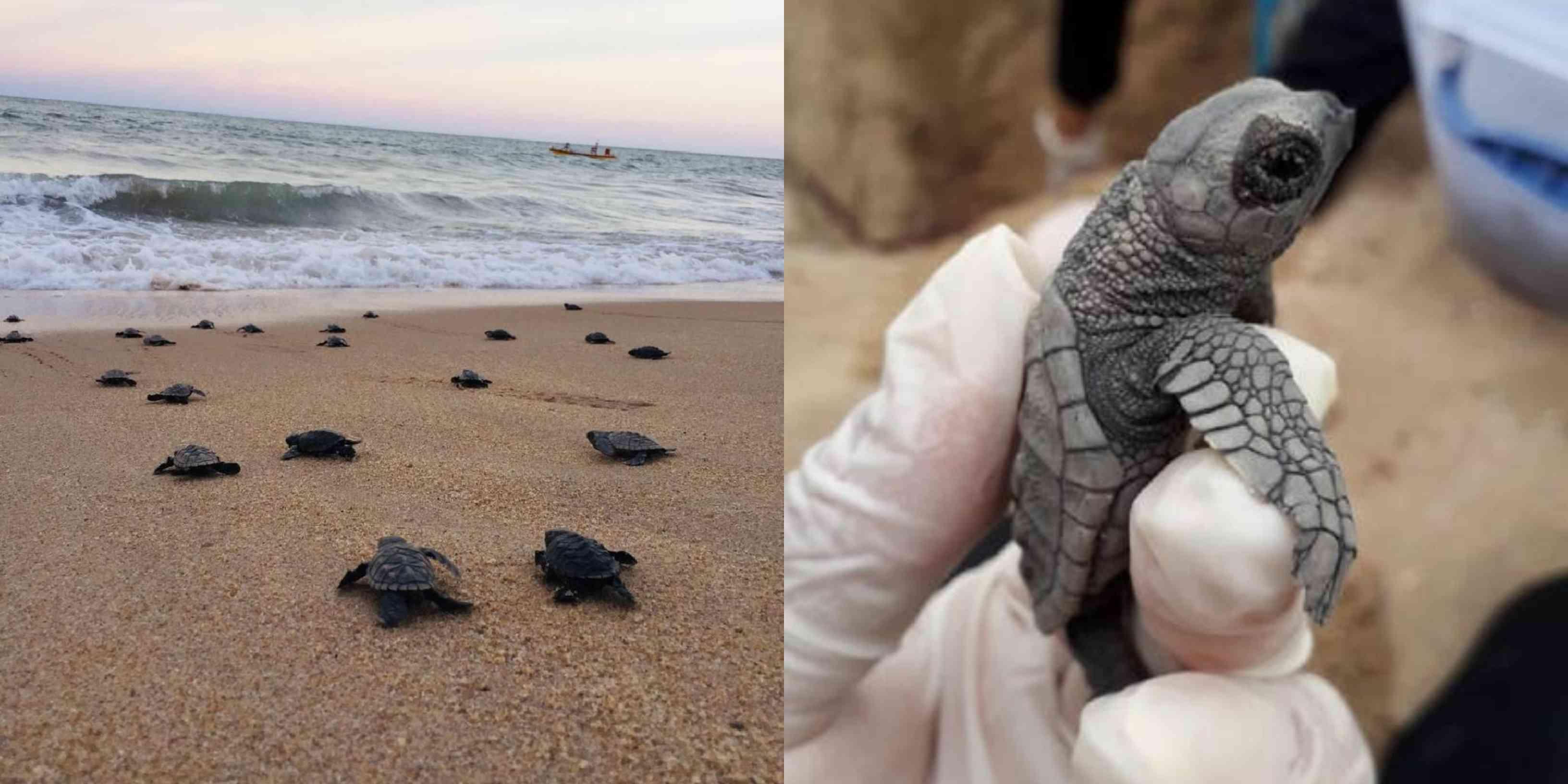 Nacen tortugas marinas en peligro de extinción