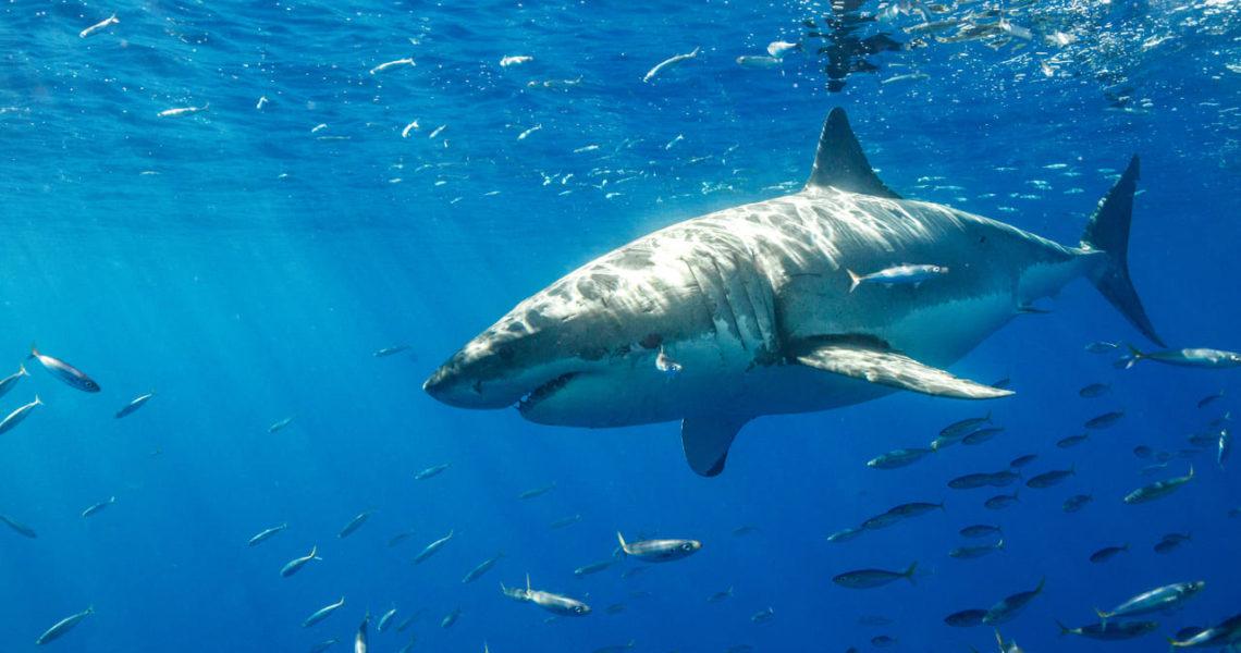 Tiburón casi se come a dos irresponsables que nadaban en playas de Cancún