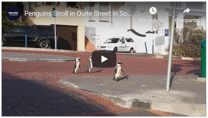 VIDEO   Avistamiento de pingüinos por calles vacías en Sudáfrica.