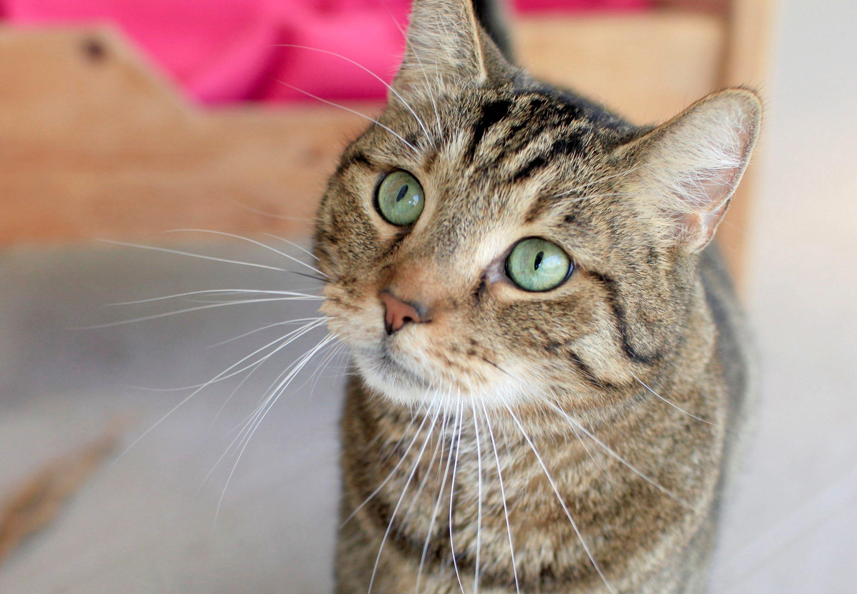 Gatos pueden transmitir Covid-19 y recomiendan que permanezcan en sus hogares