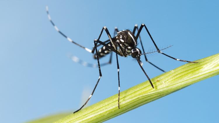Mosquito capaz de transmitir hasta 22 virus