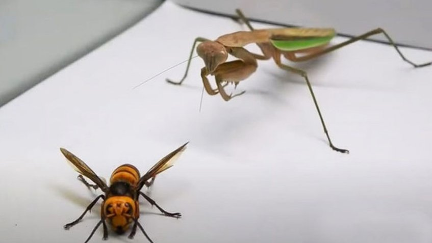 Mantis religiosa vs avispa asesina