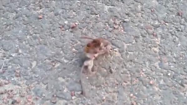 (Video) Captan a «avispón asesino» pelando con roedor hasta matarlo