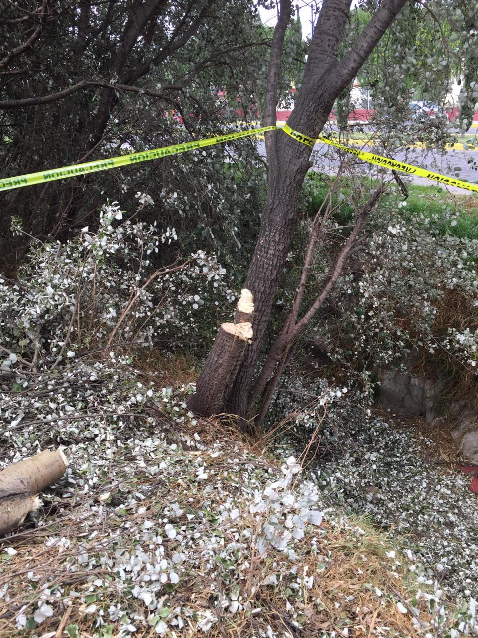 Podan árboles de manera arbitraria en delegación de Toluca