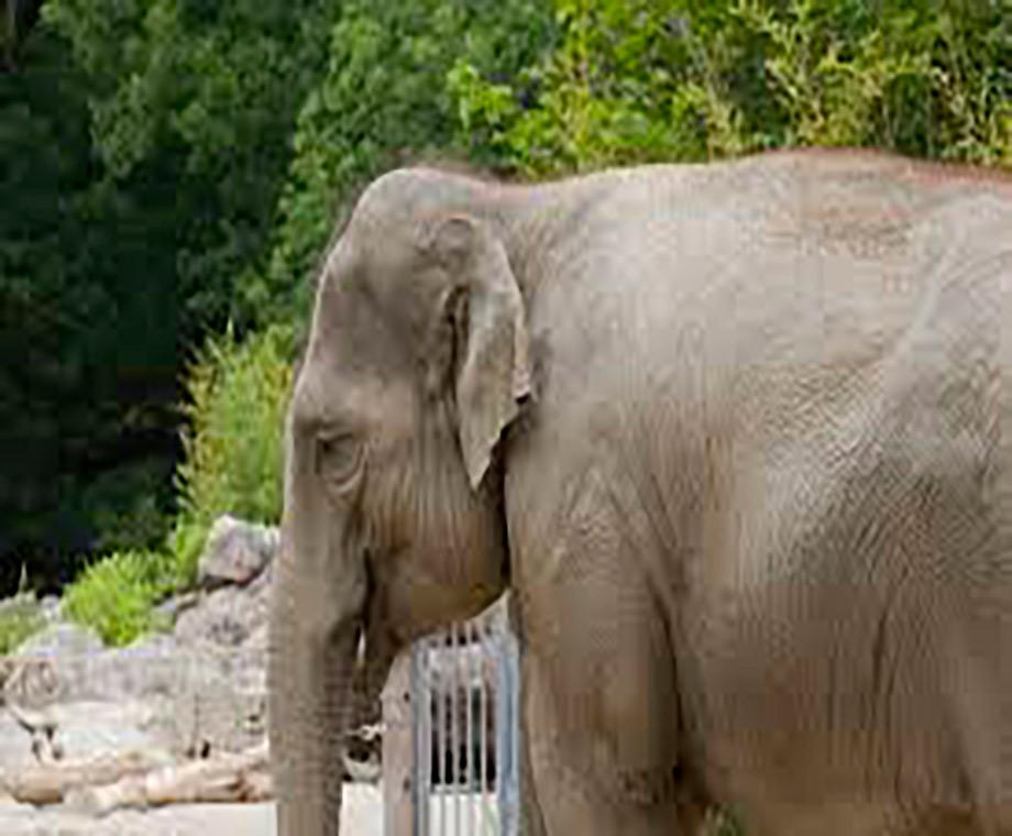 elefante-embarazada-muere-por-consumir-pina-con-explosivos-en-kerala