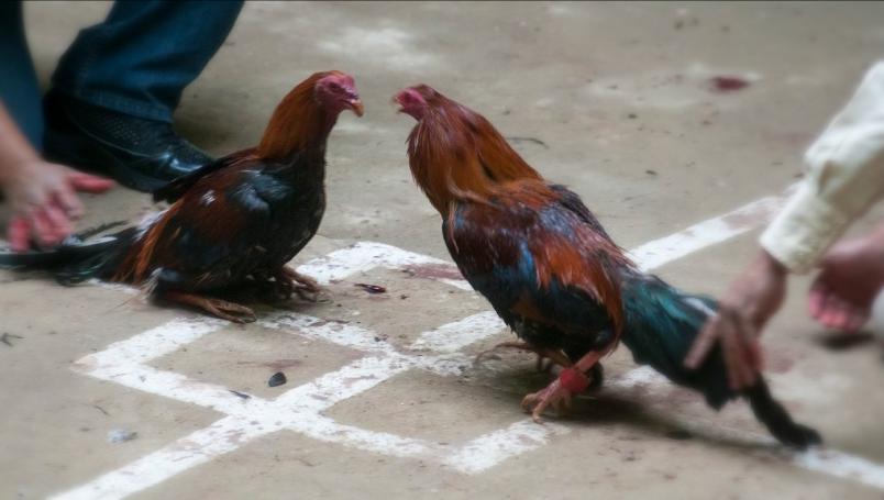 Enfrentamiento de gallos es declarado bien cultural en Hidalgo