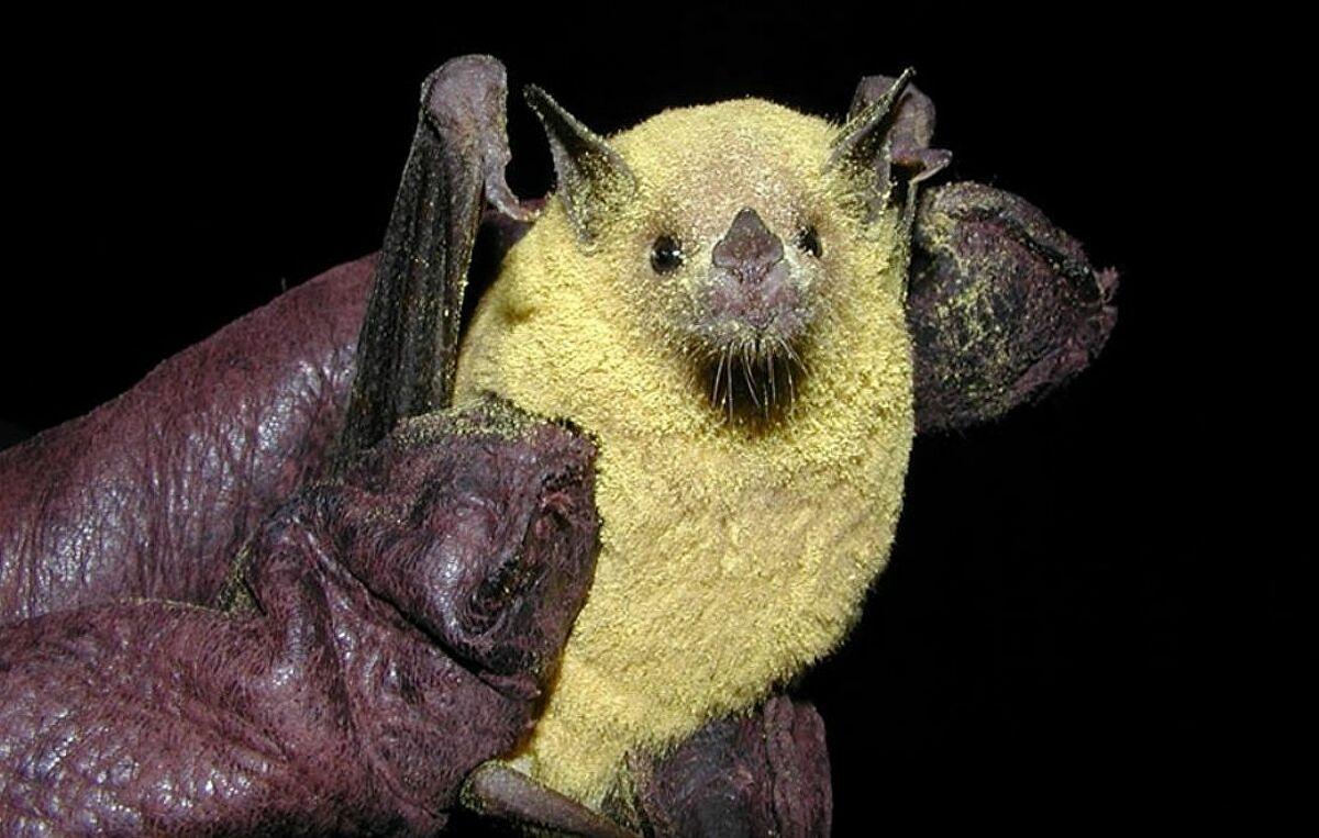 Estudio reveló la importancia del murciélago en la fabricación del tequila