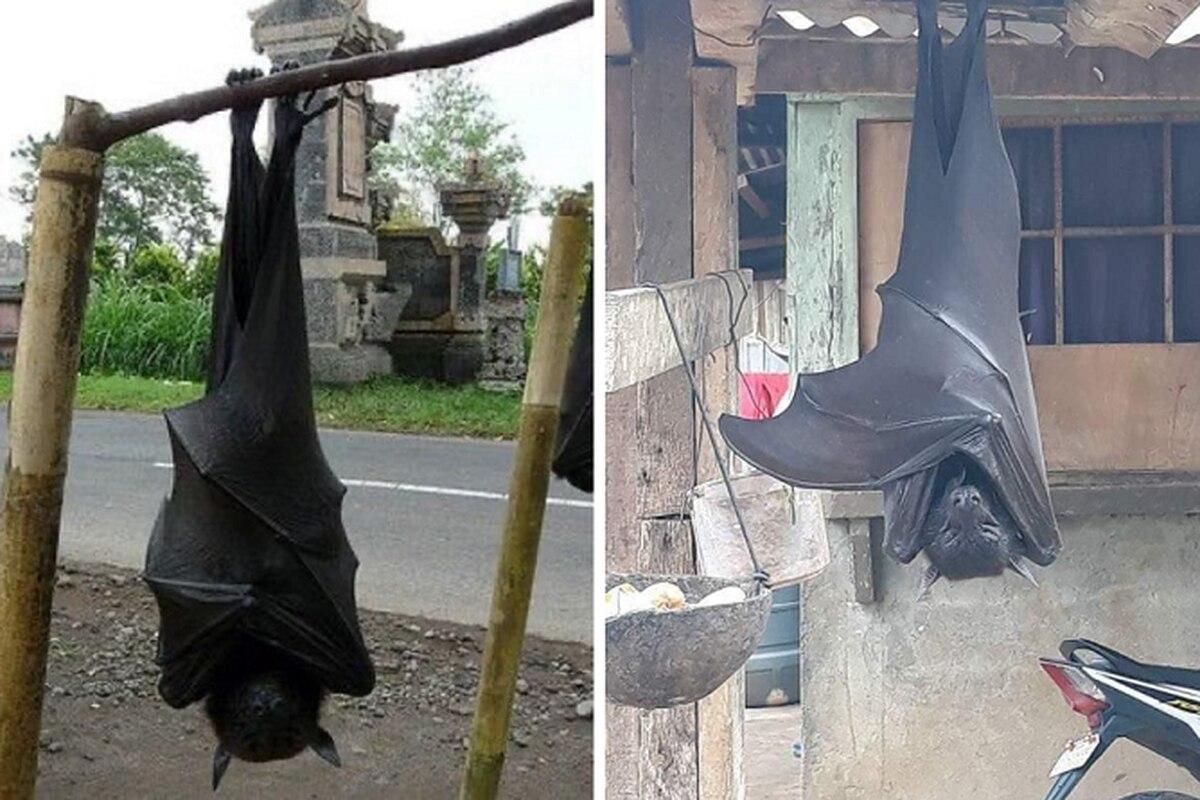 La verdad sobre la foto del murciélago gigante