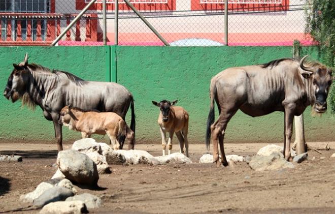 Nace un par de Ñus en zoológico del Estado de México