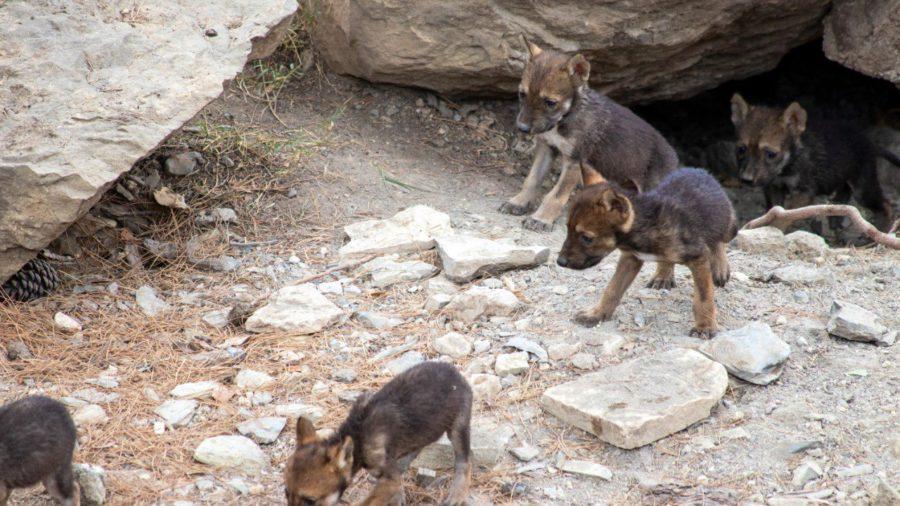 VIDEO Nacen bellos cachorros lobo gris mexicano1