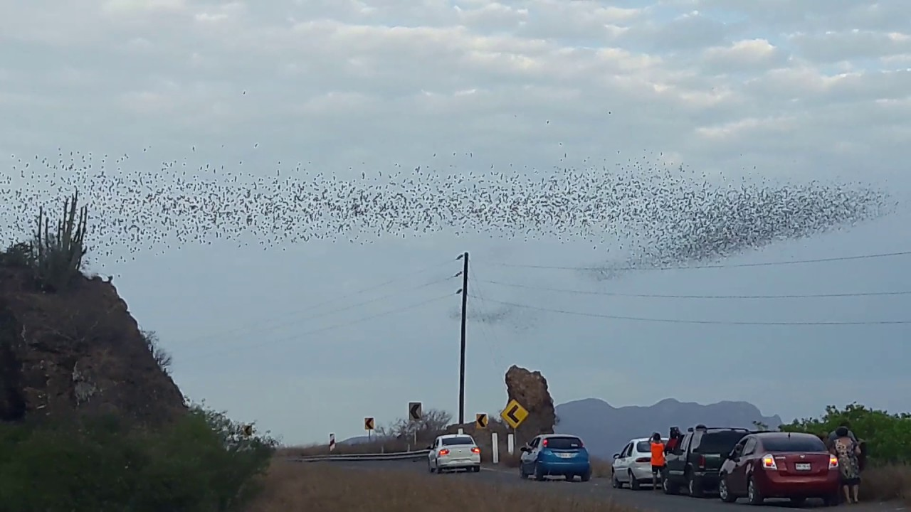 (Video) Captan espectáculo de millones de murciélagos saliendo de una famosa cueva en en Sinaloa
