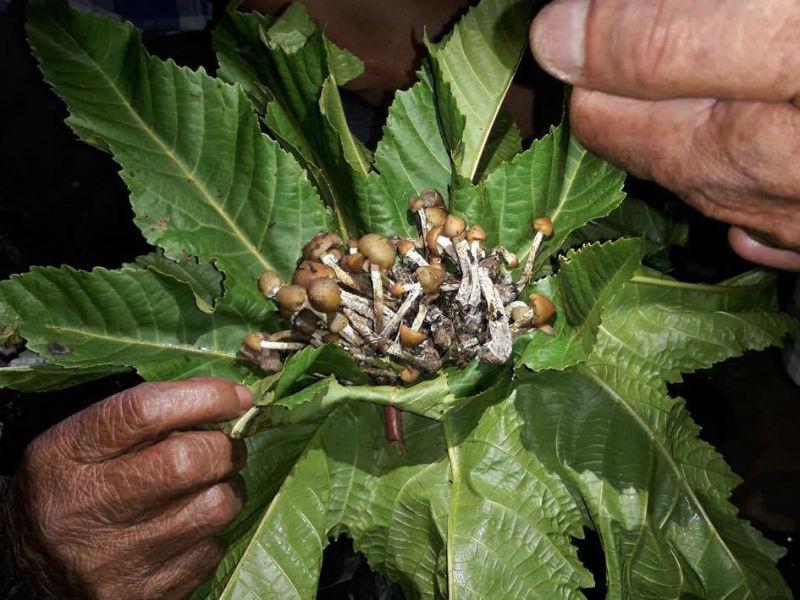 existen lugares famosos por el consumo y venta de hongos alucinógenos, uno de ellos se encuentra en el Estado de México. Se trata de San Pedro Tlanixco.
