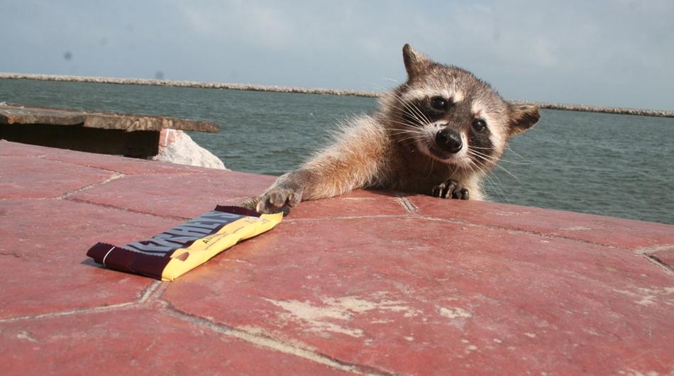 mapaches-se-quedan-sin-comida-por-falta-de-turistas-en-playa-miramar