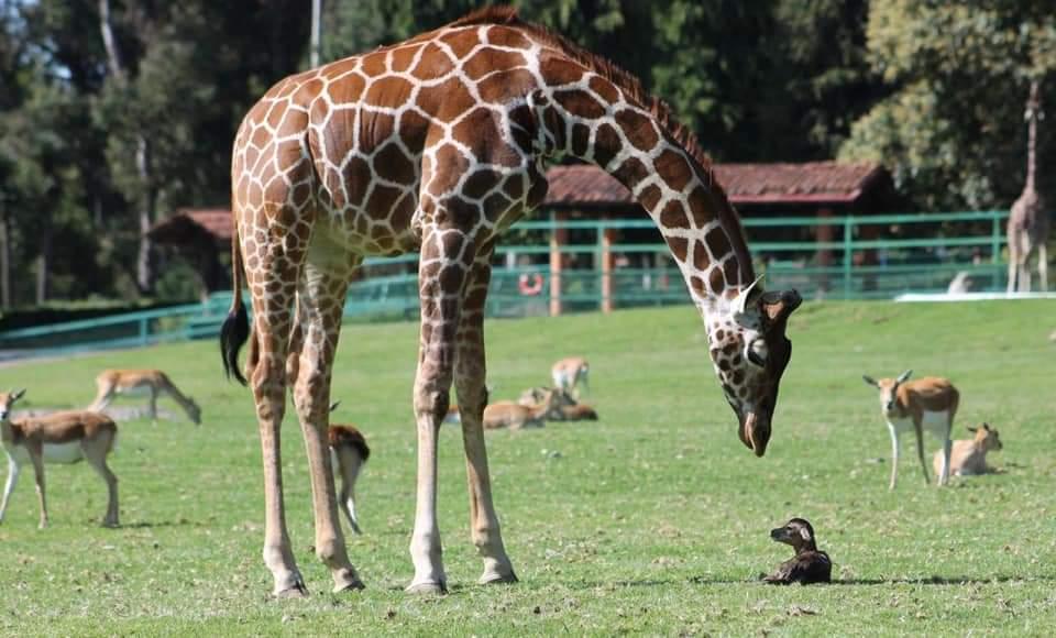 Nace tierna jirafa en Parque Ecológico Zacango e invitan a visitarla