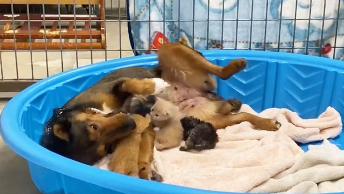 perrita-rescatada-adopta-a-gatitos-tras-perder-a-sus-cachorritos