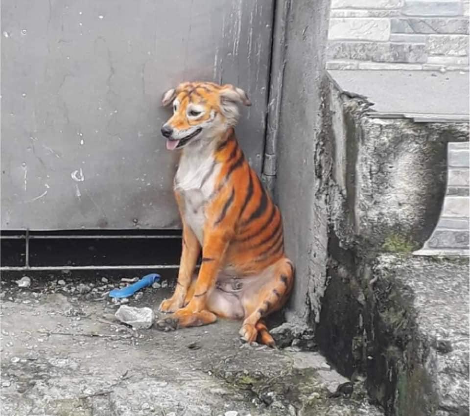 Perrito pintado como tigre causo indignación