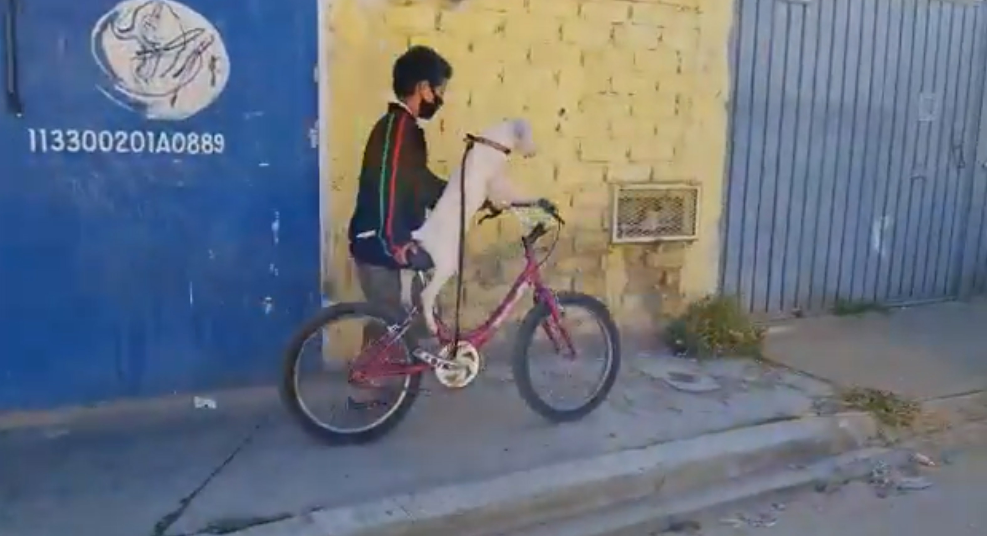 En México se vuelve viral  un lomito que montaba una bicicleta || VIDEO