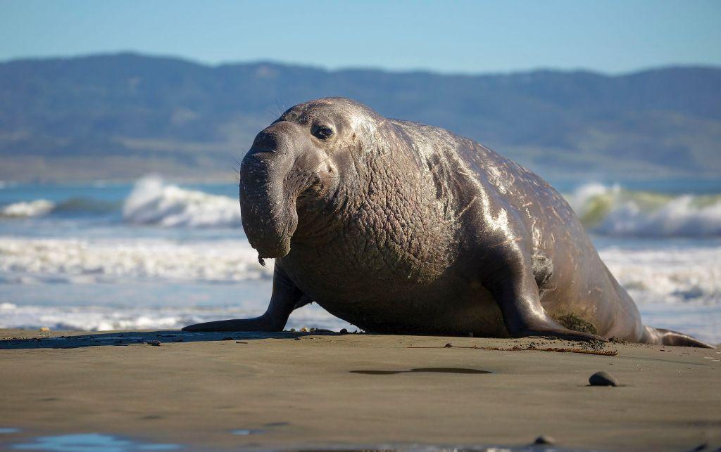(Video) Captan enorme elefante marino paseando por las calles de Chile