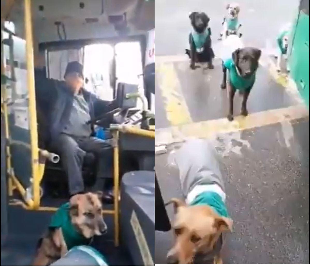 viral-contratan-perritos-callejeros-para-acompanar-a-choferes-en-transporte-publico