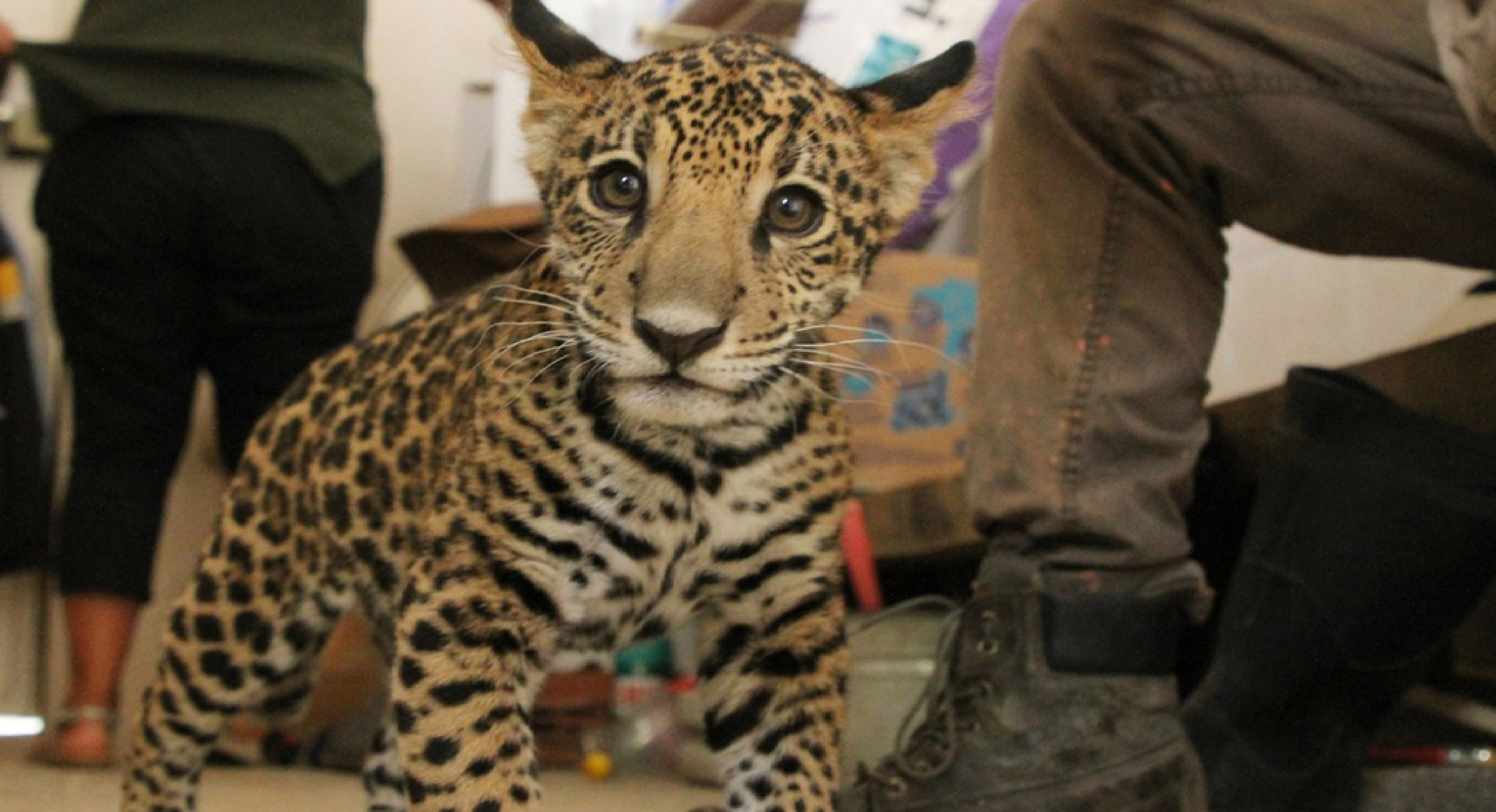 ¡Hermoso cachorro jaguar llega a parque ecológico mexiquense!    FOTOGALERÍA