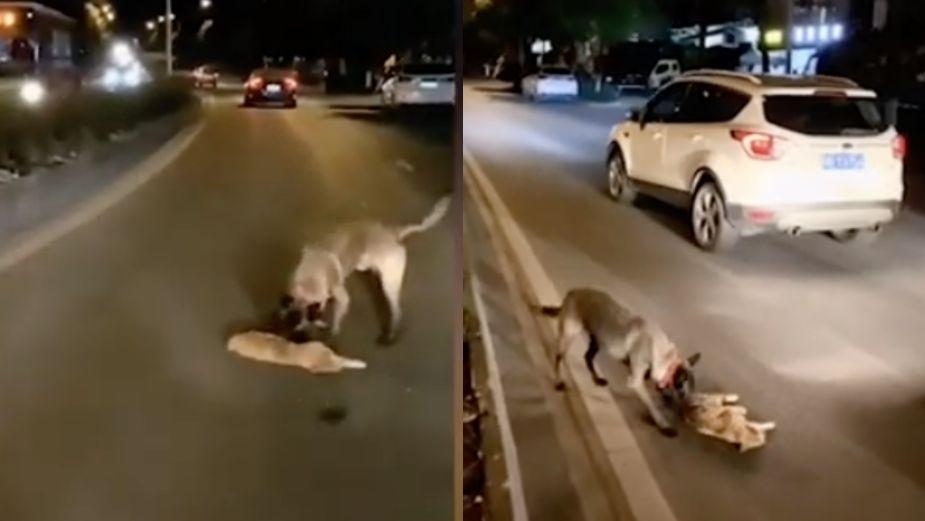 Perro intenta salvar a un gato tras ser atropellado || VIDEO