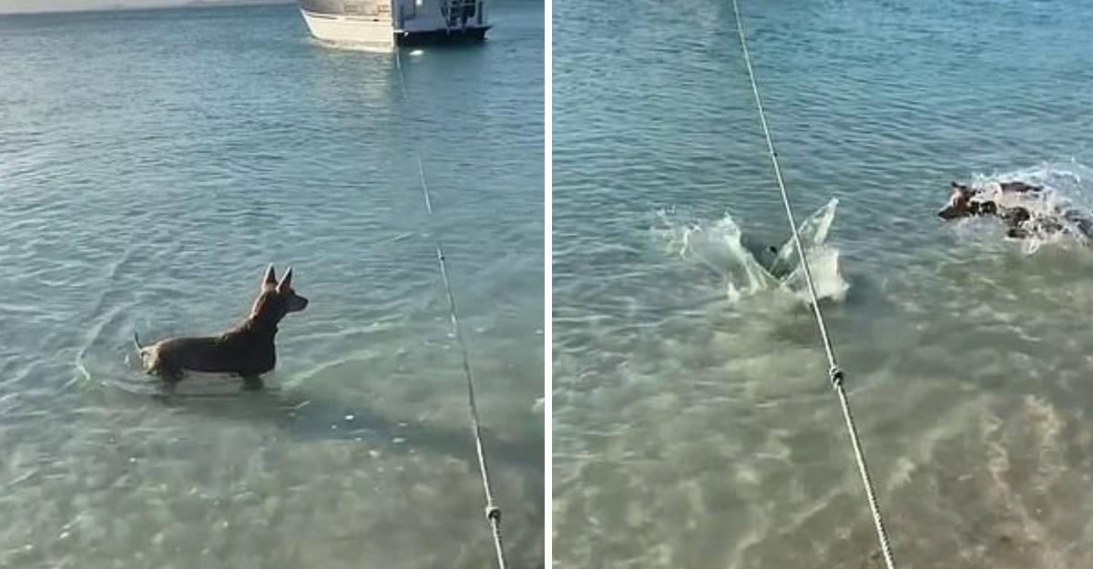 Perro-salva-a-su-dueno-del-ataque-de-un-tiburon