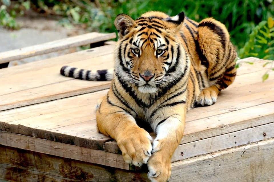Parque Zacango invita a conocer al nuevo cachorro de tigre de bengala