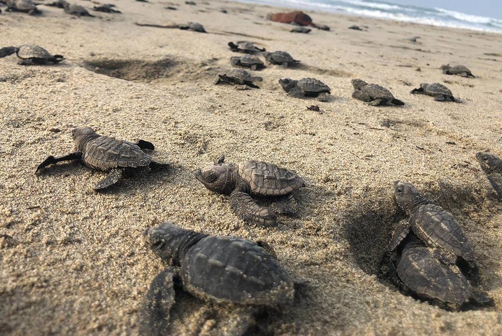 Nacen miles de tortugas en peligro de extinción gracias a la falta de turistas en playas de Sonora.