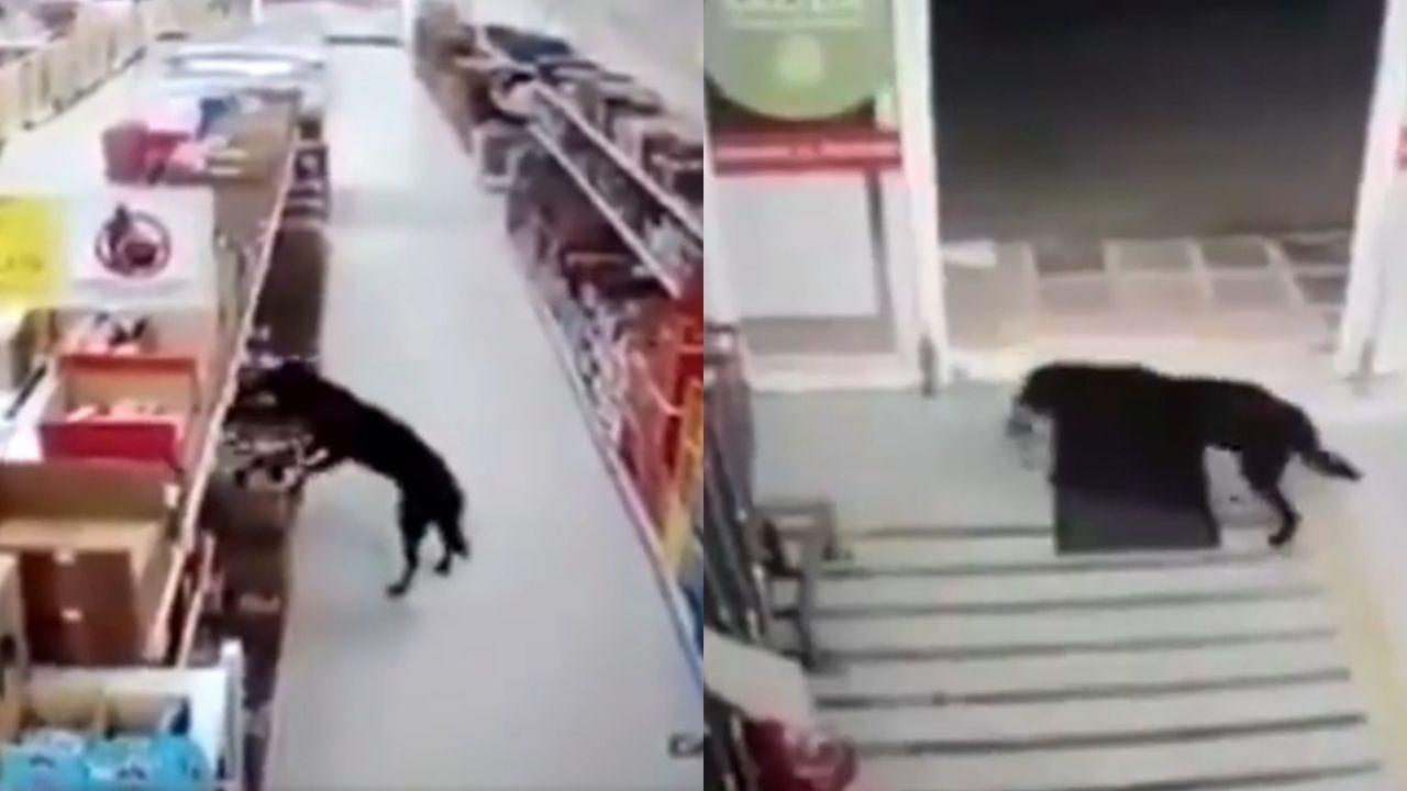 Perro-entra-a-robar-comida-y-a-la-salida-sanitiza-sus-patitas