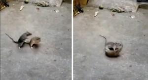 Viral enfrentamiento entre ratas de la Central de Abastos