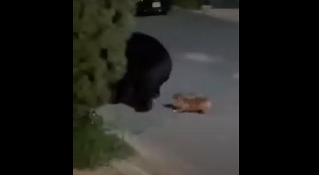 (Video) Perrito chihuahua intenta alejar a un oso de su casa en Nuevo León