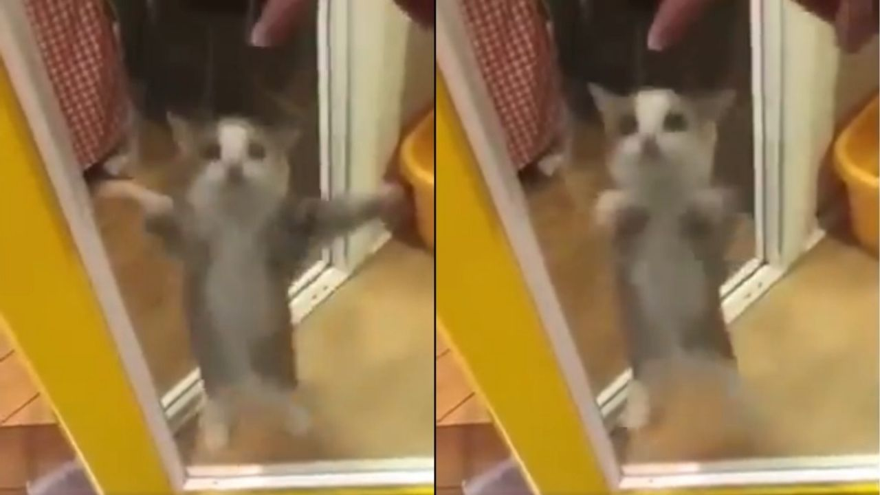 conoce-al-gato-que-es-tendencia-por-bailar-el-asereje