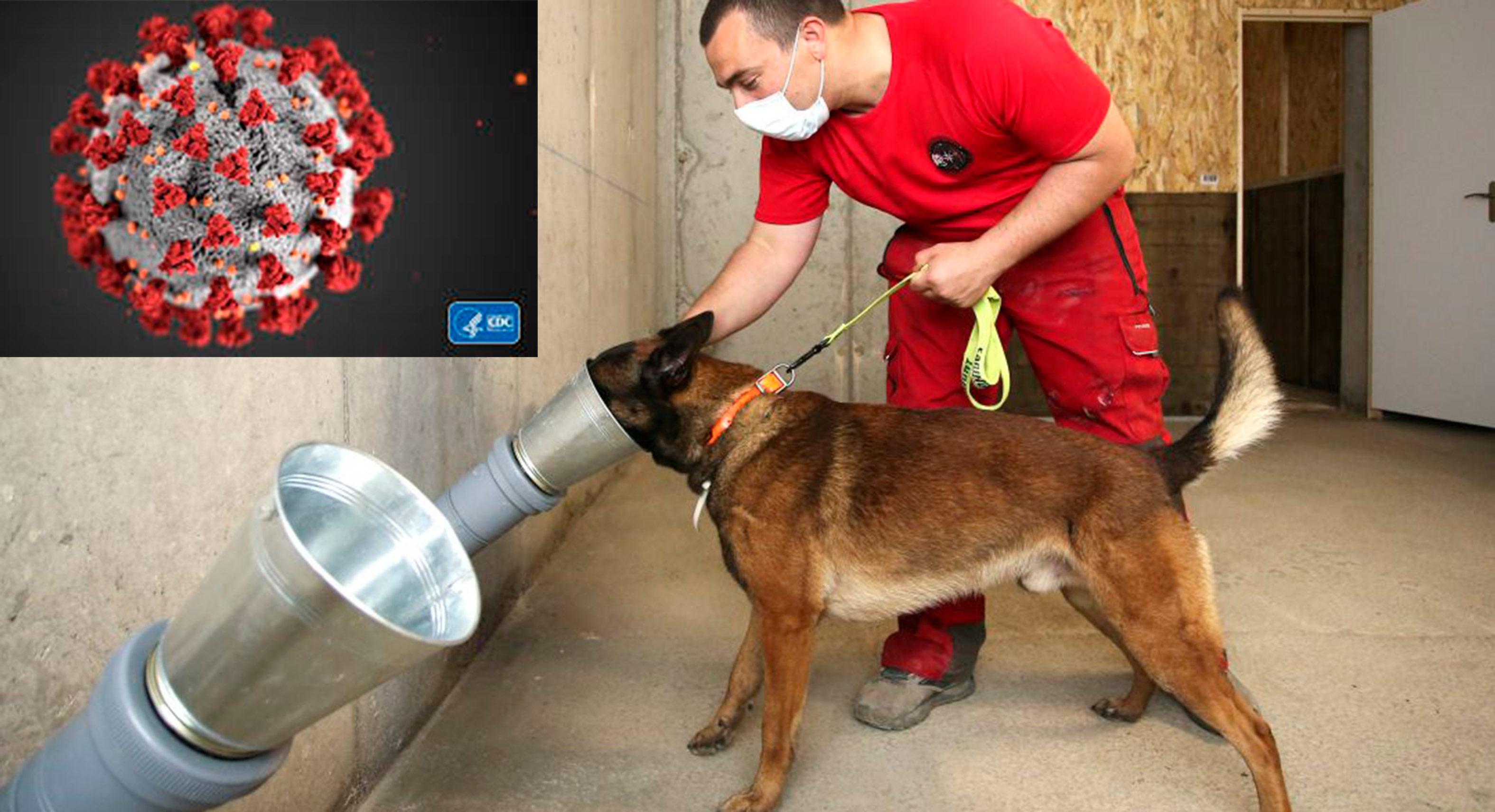 Entrenan perros para detectar COVID-19 y a posibles asintomáticos