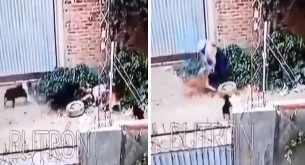 en bolivia, mujer sufre de mordeduras de perros en diferentes partes del cuerpo, este accidnete se hizo viral en redes sociales por un video compartido, puedes mirarlo en el siguiente enlace, perros.