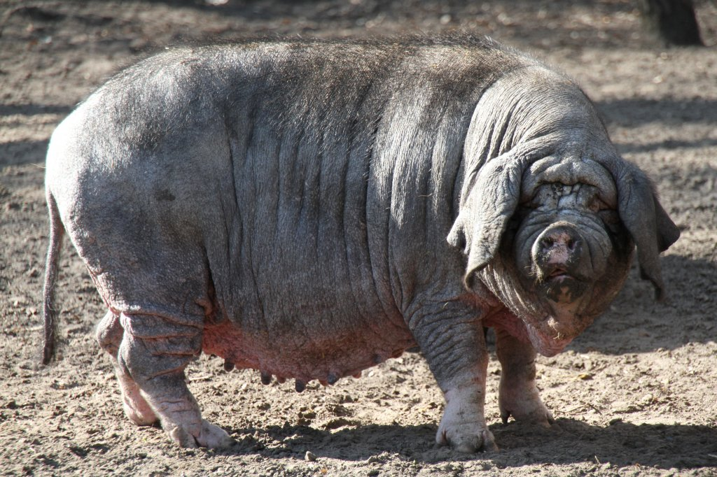Captan a extraño cerdo y lo confunden con un nahual