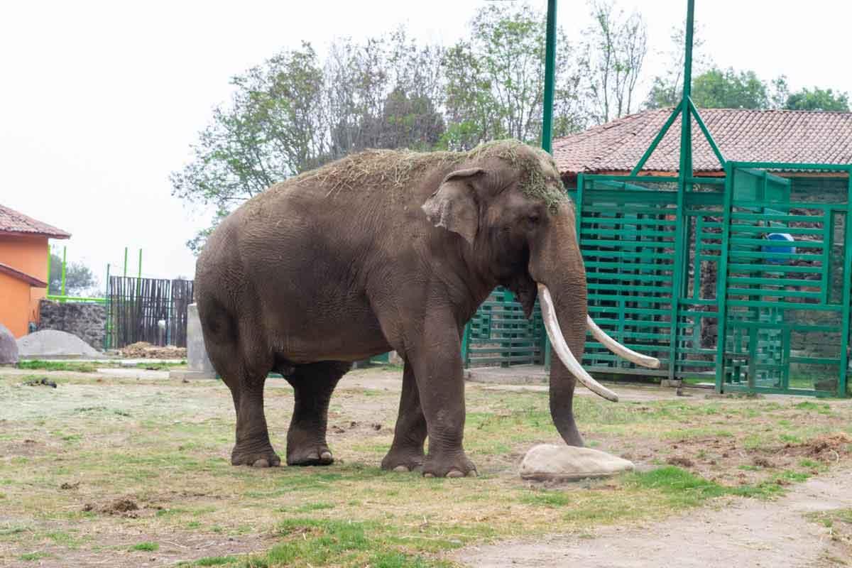 Zoológico de Zacango elefante.