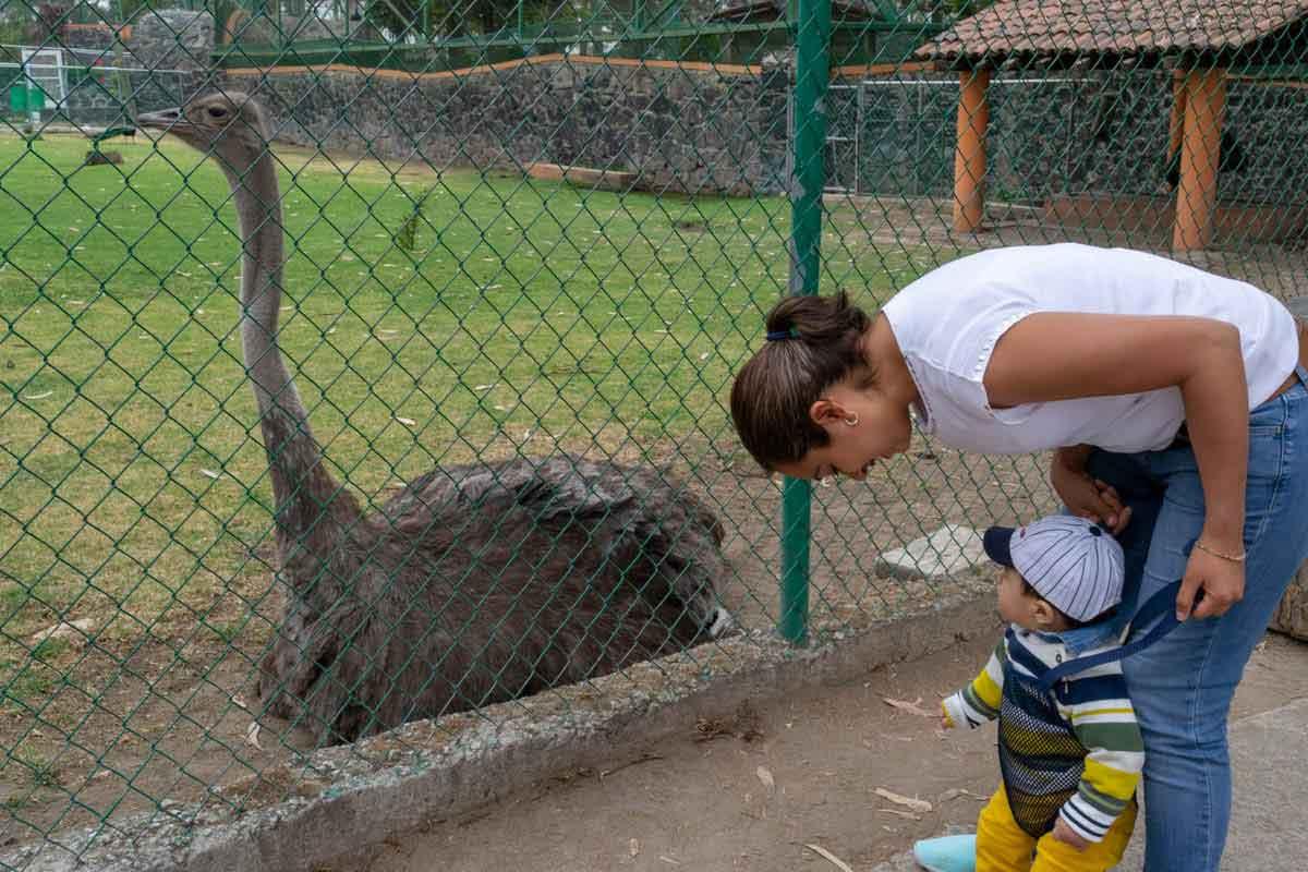 Zoológico de Zacango niño viendo una avestruz.