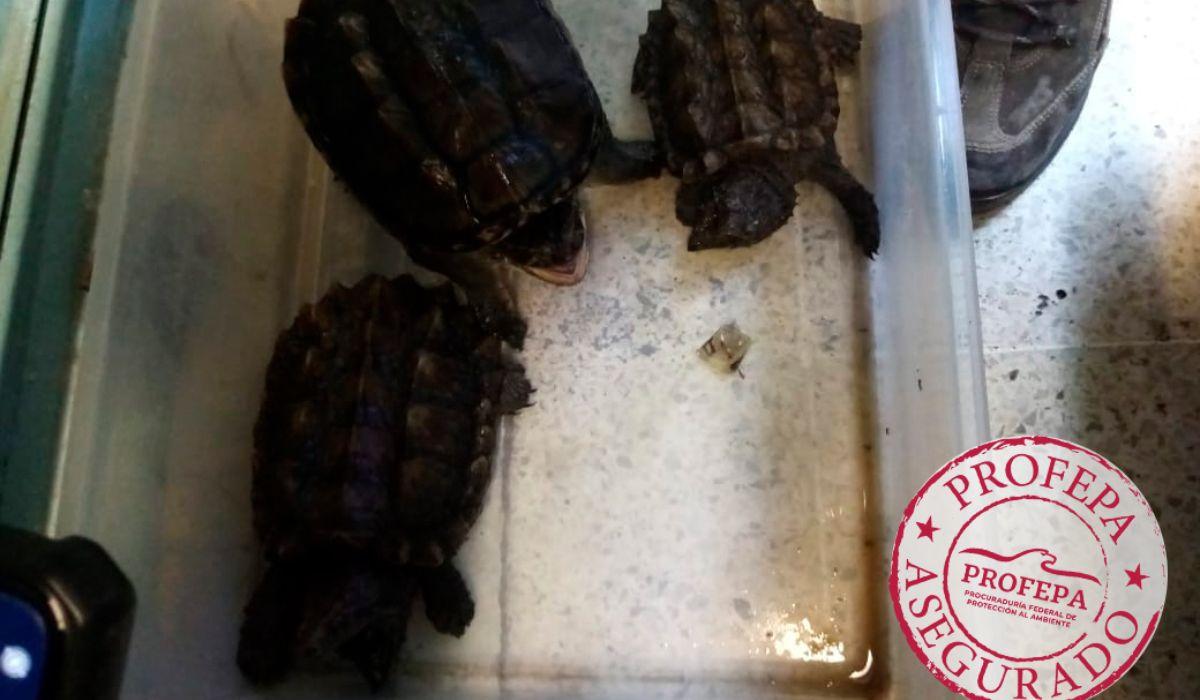 Varias especies de tortugas fueron recatadas del mercado que se encuentra en la CDMX