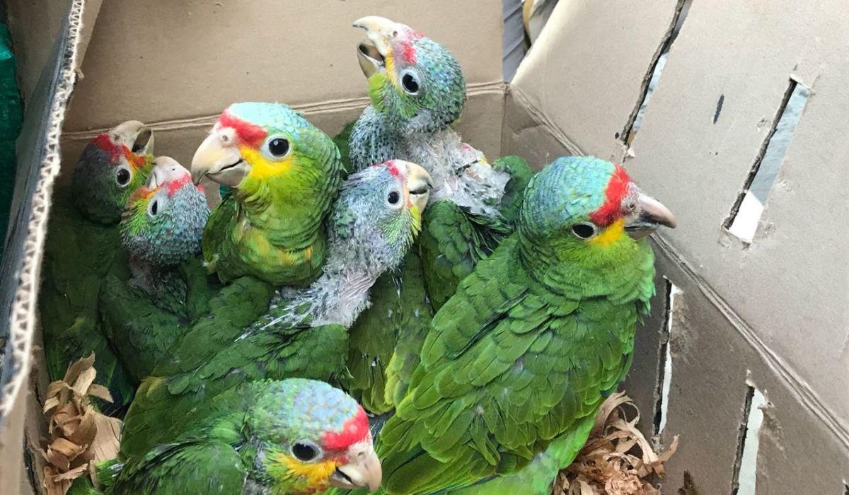 Varios animales entre ellos pericos fueron recuperados por la PROFEPA