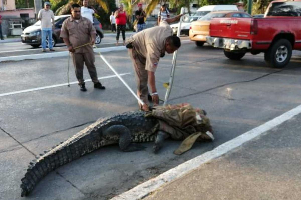 Protección-civil-atrapa-a-cocodrilo