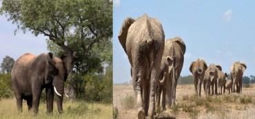 Muere supuesto cazador al ser aplastado por estampida de elefantes en Sudafrica