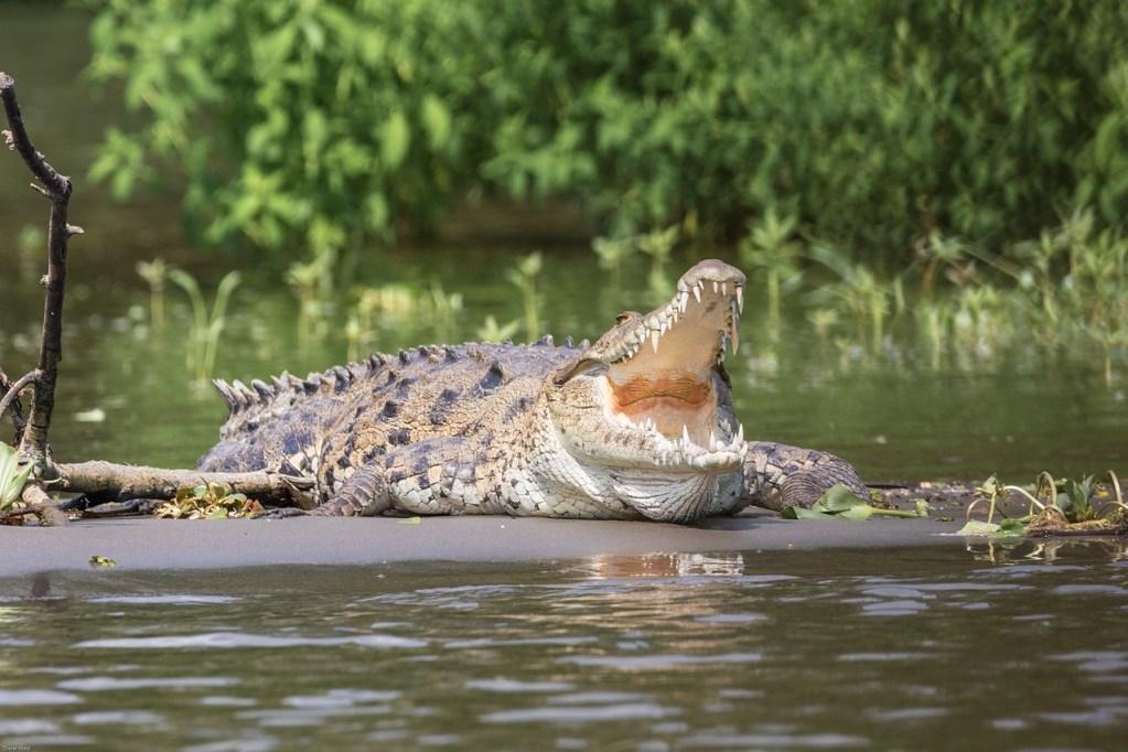 cocodrilos salen de su habitat para tomar los rayos del sol